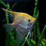 珍しい繁殖行動をするおすすめ熱帯魚達