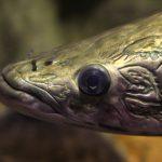 圧倒的迫力・圧倒的ロマン!全アクアリストの憧れ古代魚の世界