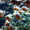 外来魚が日本を侵略!?日本で発見された熱帯魚たち