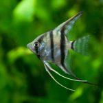 アクアリウム未経験者でも見たことある!知名度の高い熱帯魚たち