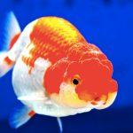 金魚の王様らんちゅうの飼育