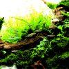 水草水槽レイアウトによくマッチする「ラスボラ」の特徴・混泳・飼育法などを知ろう