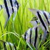 初心者向け熱帯魚の種類。飼ったことがない人でもこれを読めば安心。